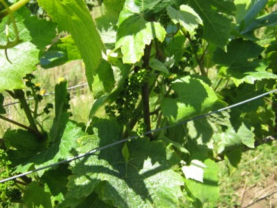 Growing Grapes in the Willamette Valley 1