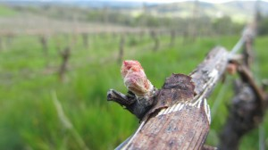 Bud Break At Youngberg Hill 1