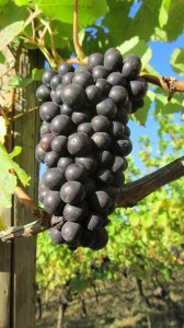 Growing grapes in Oregon 1