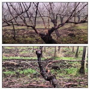 Post-Harvest Vineyard