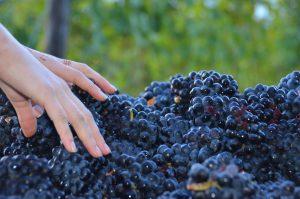 Oregon Wine Harvest 2016 Update 1