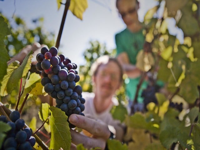Youngberg grapes