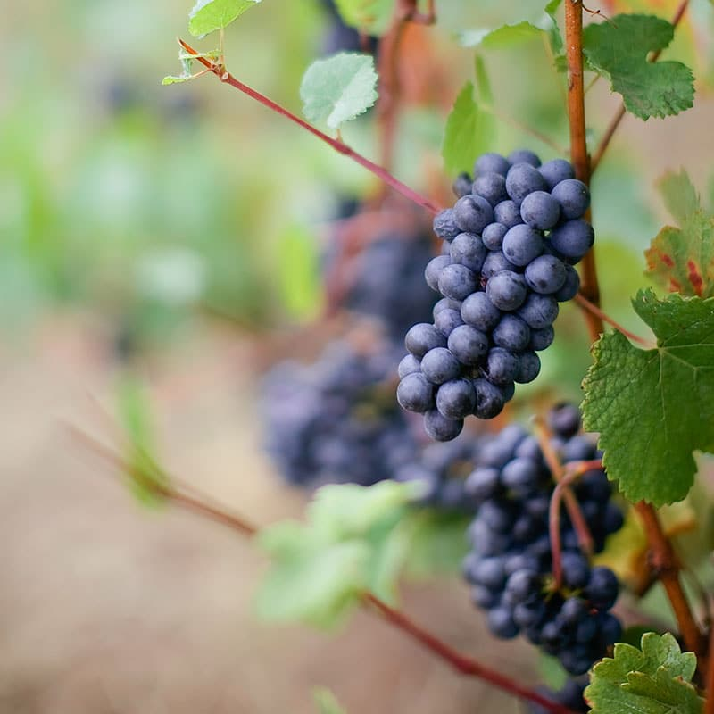 Pinot Noir Grapes in the Willamette Valley of Oregon